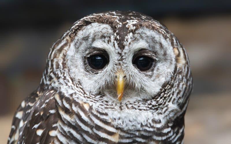 Nära vy över en Chaco Owl royaltyfria bilder