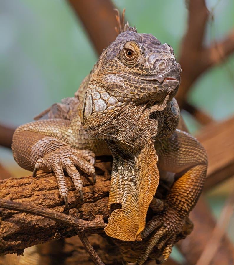 Nära vy över en gammal Green Iguana fotografering för bildbyråer