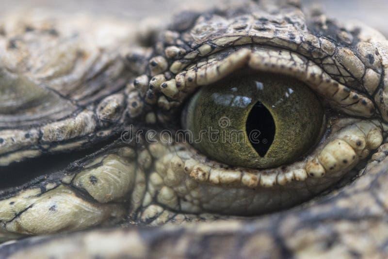 Närbild av ögat av en krokodil royaltyfri fotografi