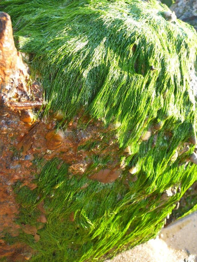 Närbild av algen på en sten arkivfoto
