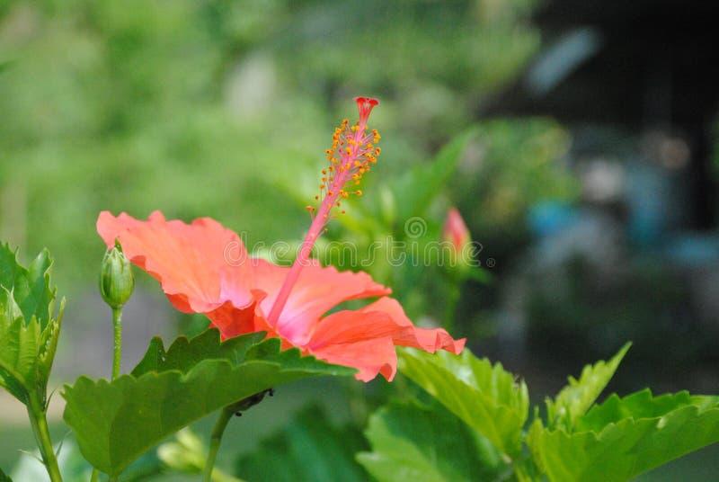 Närbild av blommande röda hibiskusblommor Selektivt fokusera arkivfoto