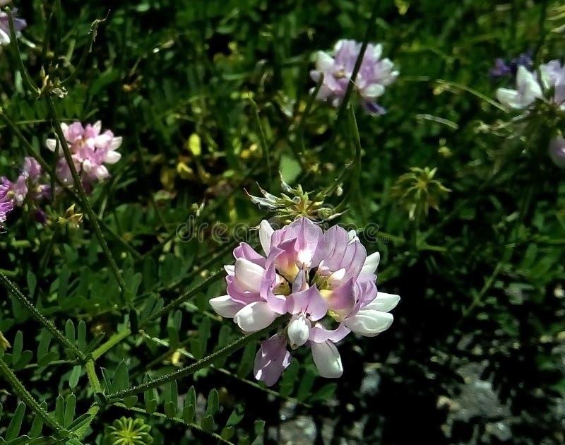 Närbild av blommor för lös ärta mot bakgrunden av grön lövverk royaltyfri foto