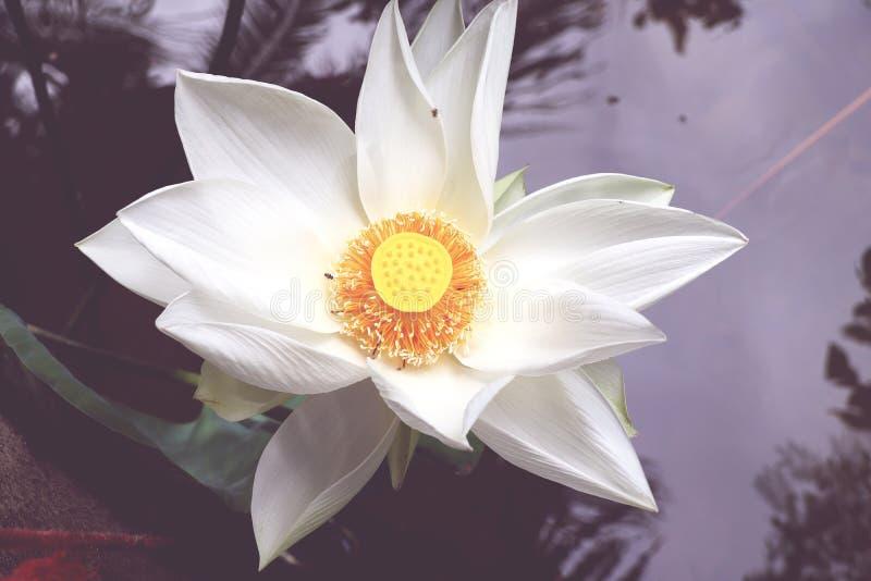 Närbild av blommor för vit lotusblomma, gula stamens i ett härligt naturligt damm, tappningbakgrund arkivbild