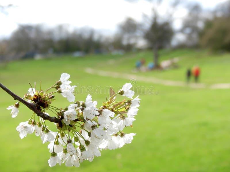 Närbild av blomningen för körsbärsrött träd med en suddig bakgrund, Chorleywood allmänning royaltyfri foto