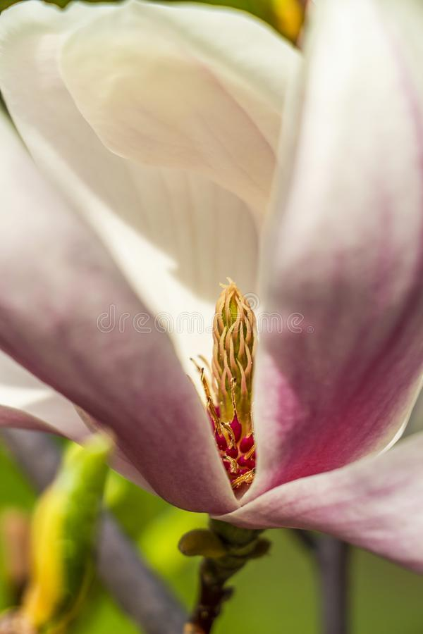 Närbild av carpels för vit blomma för magnolia och rosa stamens royaltyfri bild