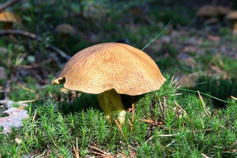 Närbild av champinjonsopp som växer på skoggolv från grön mossa, ätlig svamp variegatus för sammetBoleteSuillus, höst royaltyfri fotografi