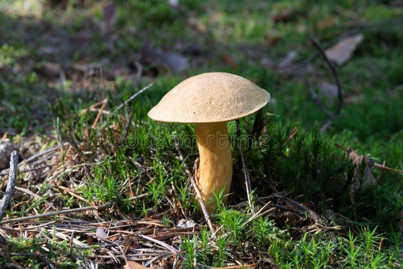 Närbild av champinjonsopp som växer på skoggolv från grön mossa, ätlig svamp variegatus för sammetBoleteSuillus, höst royaltyfri bild
