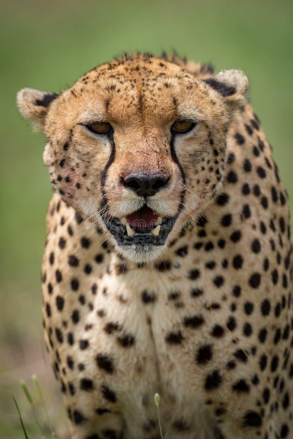 Närbild av den belägen mitt emot kameran för gepard på savannah arkivbilder