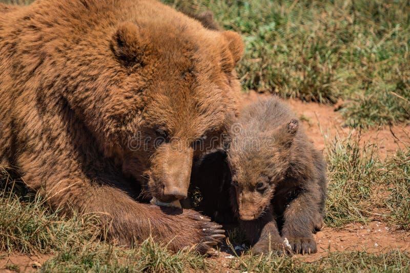 Närbild av den brunbjörnmodern och gröngölingen arkivfoto