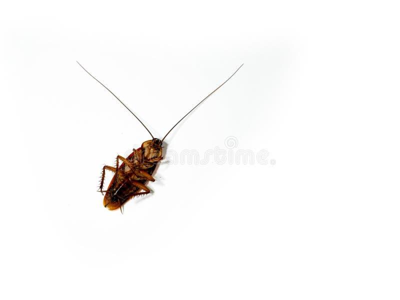 Närbild av den döda kackerlackan som isoleras på vita bakgrunds-/insekticidprodukter royaltyfria foton