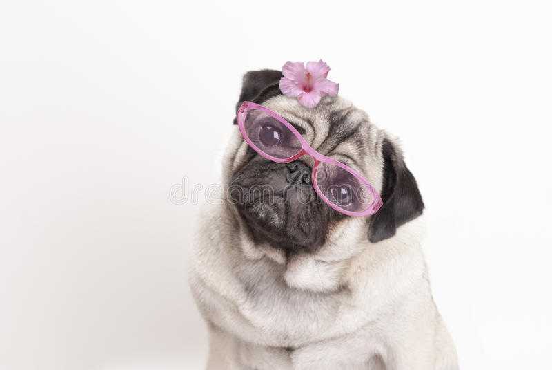 Närbild av den förtjusande gulliga mopshundvalpen som bär rosa exponeringsglas och blomman arkivfoton