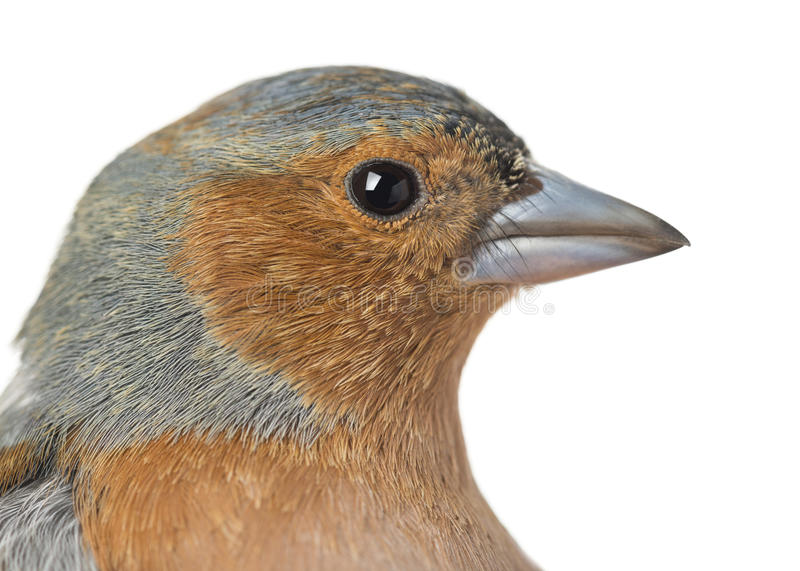 Närbild av den gemensamma bofinken - Fringillacoelebs royaltyfria foton