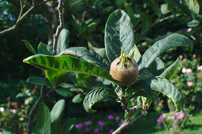 Närbild av den gemensamma mispelmespilusen Germanica, CrataegusGermanica frukt och sidor på en filial i en trädgård med blommor i arkivfoton