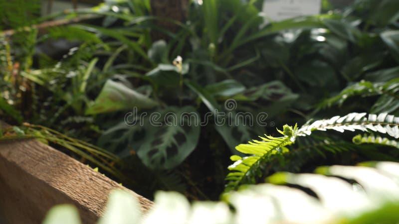 Närbild av den gröna ormbunken som växer i växthus Härliga gröna ormbunkesidor exponeras av solens strålar som gör deras väg fotografering för bildbyråer