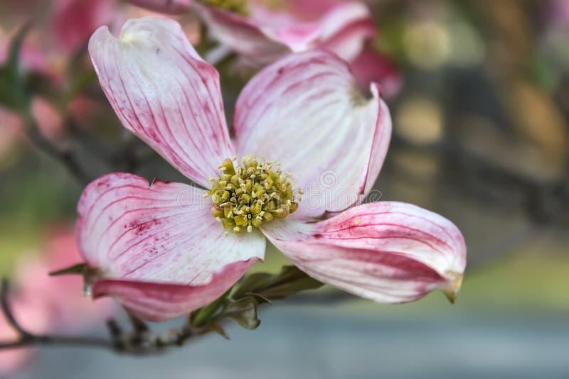 Närbild av den härliga rosa skogskornellblomningen i vår - närbild och selektiv fokus arkivfoto