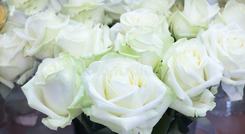 Närbild av den ljusa gruppen av nya stora härliga vita rosor royaltyfri fotografi