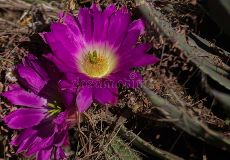 Närbild av den purpurfärgade blomman för Arizona ökenkaktus royaltyfria bilder
