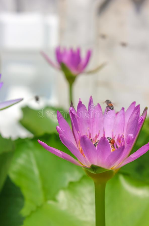 Närbild av den rosa lotusblommablomman med bin som flyger och pollinerar arkivbild
