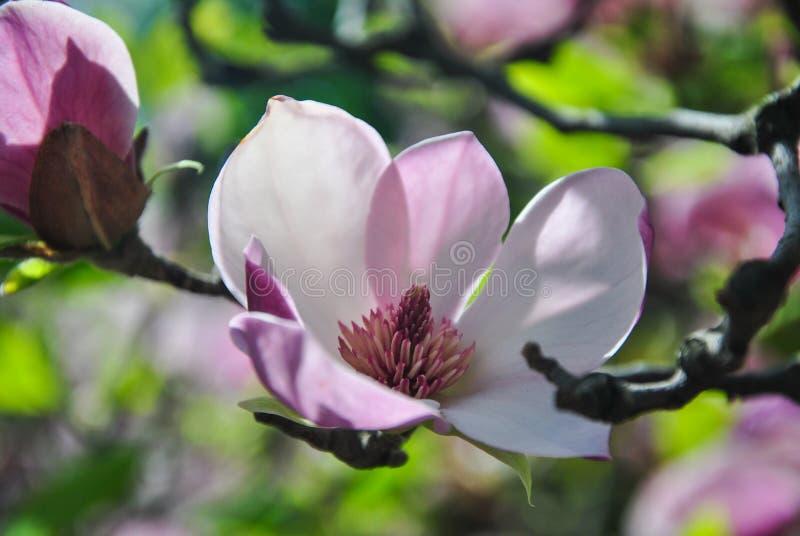Närbild av den rosa magnoliablomman på en frunch på botaniska trädgården arkivfoto