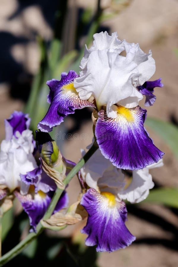 Närbild av den skäggiga irins för blommakronblad, Wabash variation arkivbilder