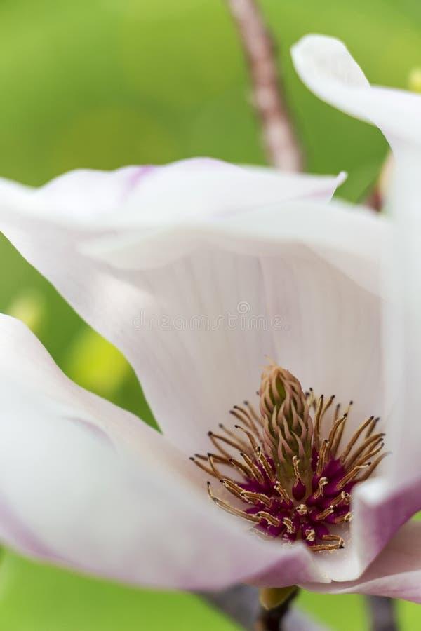 Närbild av den vita blomman för magnolia med carpels och rosa stamens arkivbild