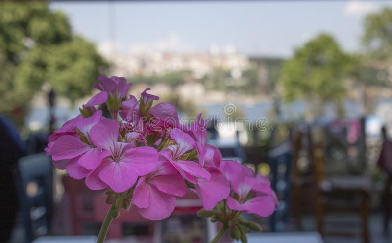 Närbild av den zon- blomman för pelargon (pelargoniahortorum) I bakgrunden finns det kafétabeller och stolar suddighet bakgrund royaltyfri bild