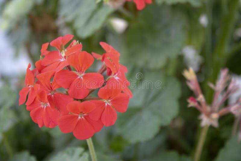 Närbild av den zon- pelargonväxten Det har en röd färg royaltyfri fotografi