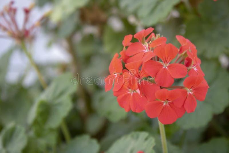 Närbild av den zon- pelargonväxten Det har en röd färg royaltyfri foto