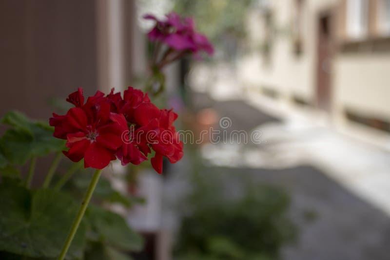 Närbild av den zon- pelargonväxten It' s i en kruka på gatan vid fönstret royaltyfria foton