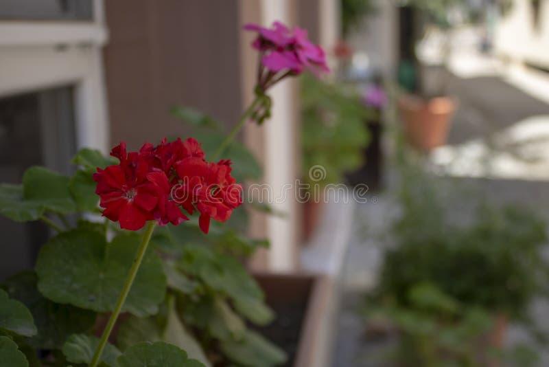 Närbild av den zon- pelargonväxten It& x27; s i en kruka på gatan vid fönstret royaltyfria foton