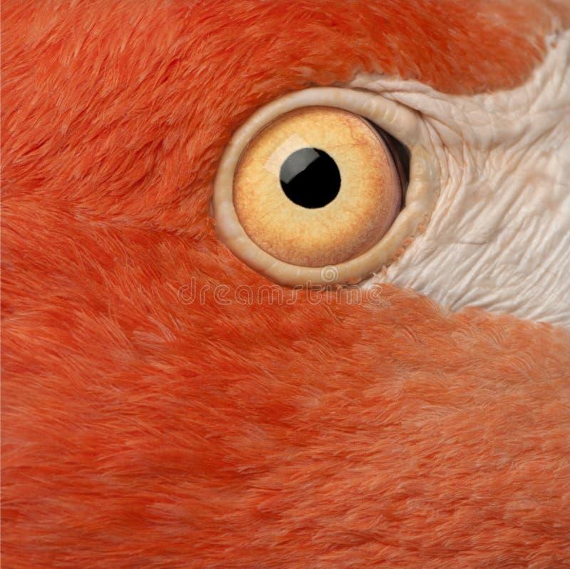 Närbild av det amerikanska flamingoögat, Phoenicopterus ruber arkivfoto