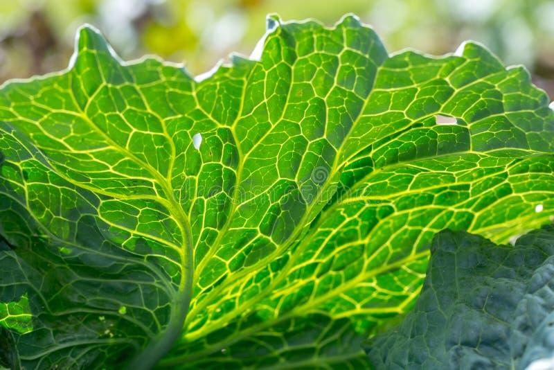 Närbild av det nya gröna bladet av sund savojkål royaltyfri fotografi