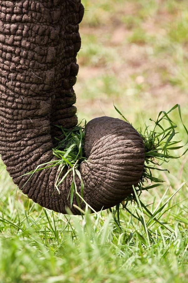 Närbild av elefanten som äter grönt gräs royaltyfri foto