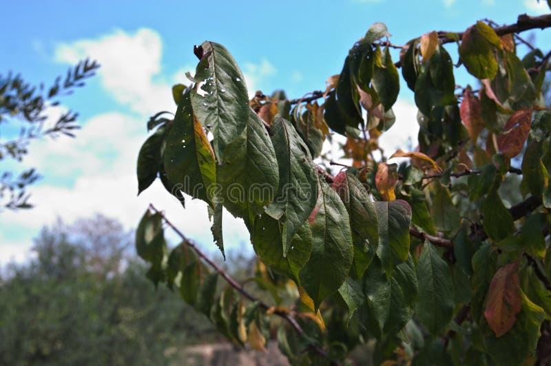 Närbild av en äppleträdfilial i höst royaltyfri fotografi