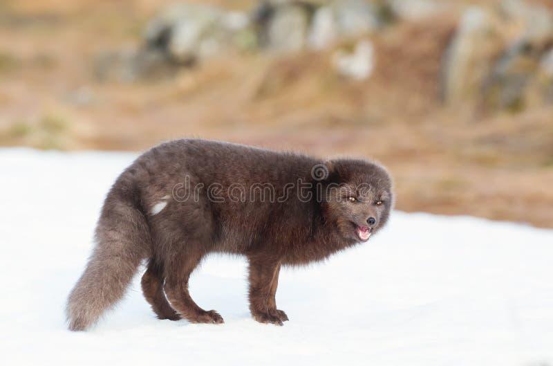 Närbild av en arktisk räv för blå morf royaltyfria foton