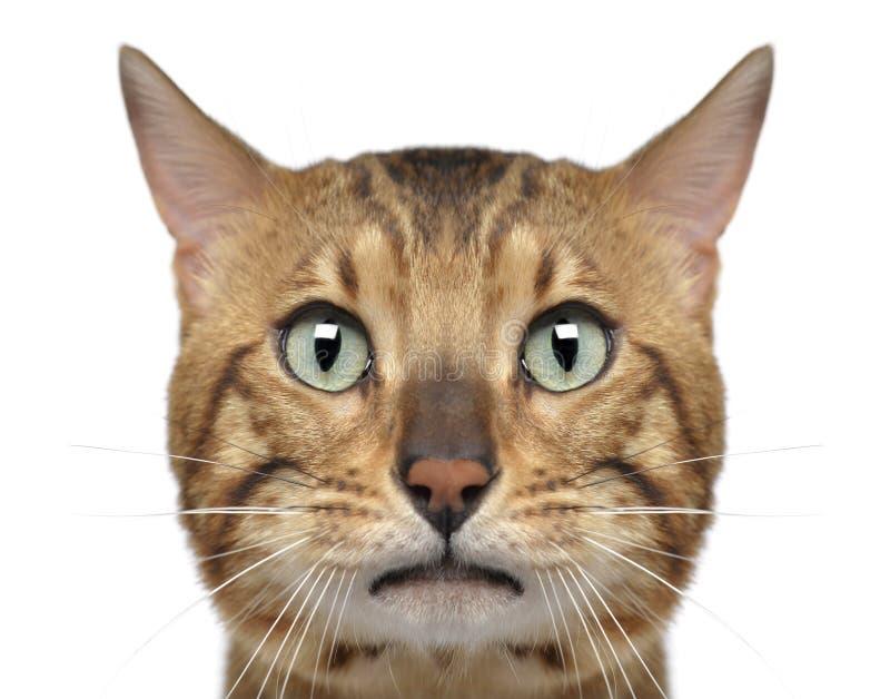 Närbild av en Bengal katt, 3 gamla år fotografering för bildbyråer