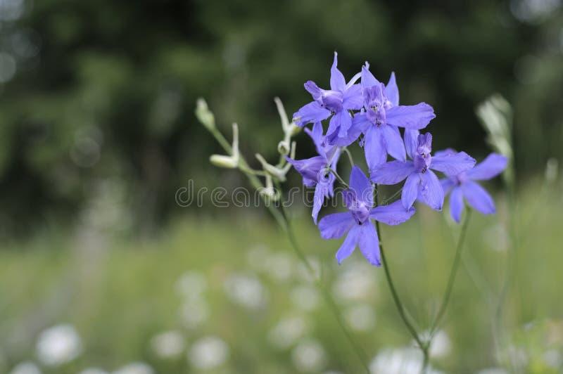 Närbild av en blomma av den skäggiga irins på suddig grön naturlig bakgrund Bl?a irisblommor v?xer i en tr?dg?rd N?rbild fotografering för bildbyråer