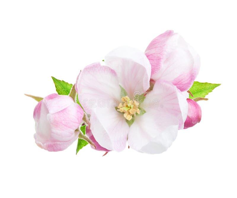 Närbild av en blommande äppleträdfilial med rosa och vita blommor som isoleras på en vit bakgrund royaltyfri fotografi