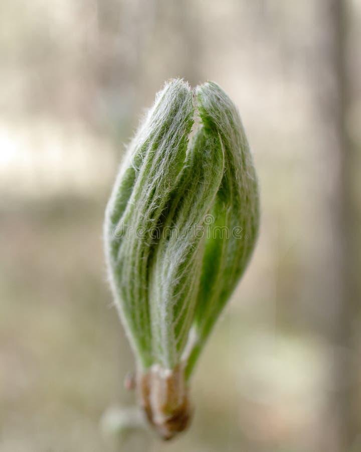 N?rbild av en blommande knopp p? ett tr?d royaltyfria bilder