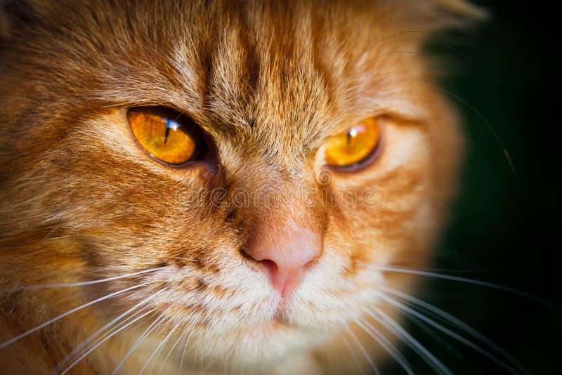 Närbild av en framsida av en orange strimmig kattkatt arkivbild