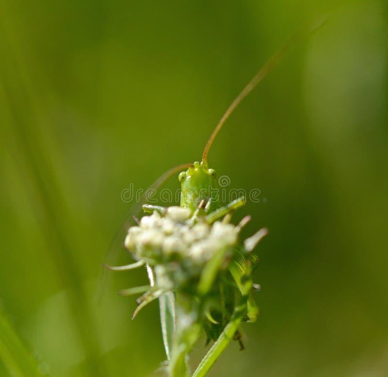 Närbild av en grön gräshoppa på ett grässtrå royaltyfria foton