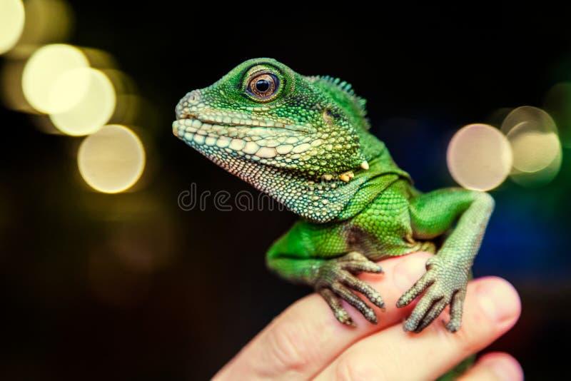 Närbild av en grön härlig ödla royaltyfri foto