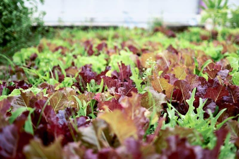 Närbild av en grupp av grönsallater som planteras på ett fält på en grundskola royaltyfria bilder