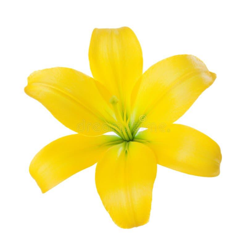 Närbild av en gul liljablomma som isoleras på en vit bakgrund arkivfoton