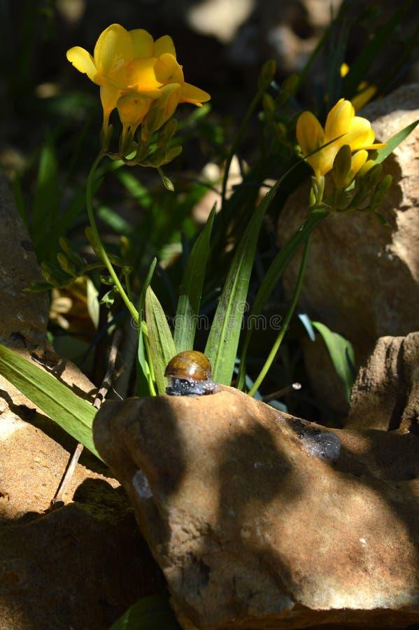 Närbild av en härlig snigel på en sten, natur, makro arkivbild