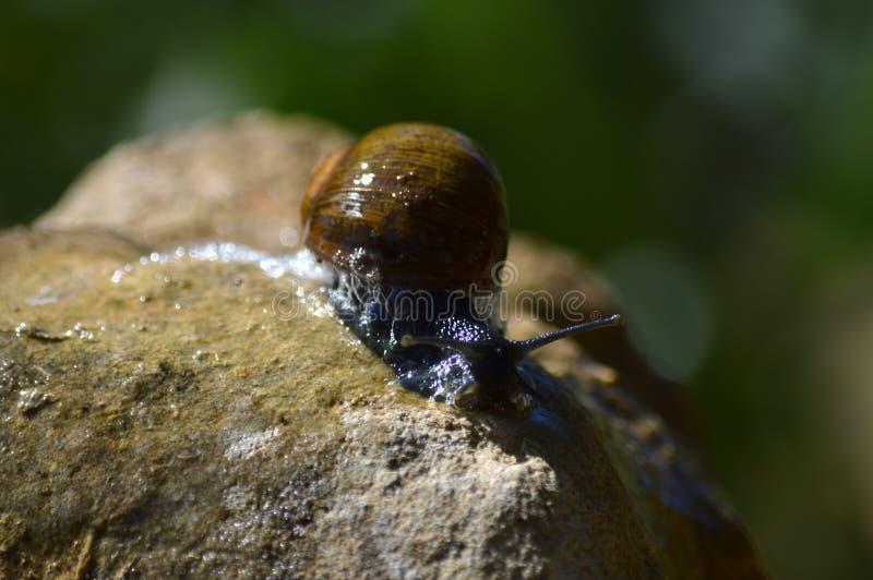 Närbild av en härlig snigel på en sten, natur, makro fotografering för bildbyråer