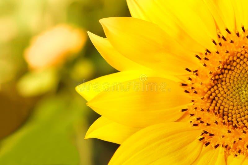 Närbild av en härlig solros i ett fält royaltyfri foto
