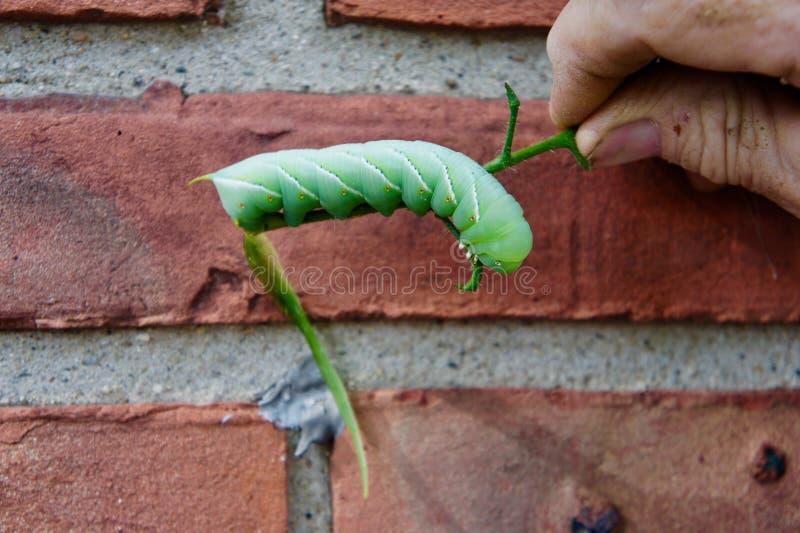 Närbild av en Hornworm royaltyfria bilder