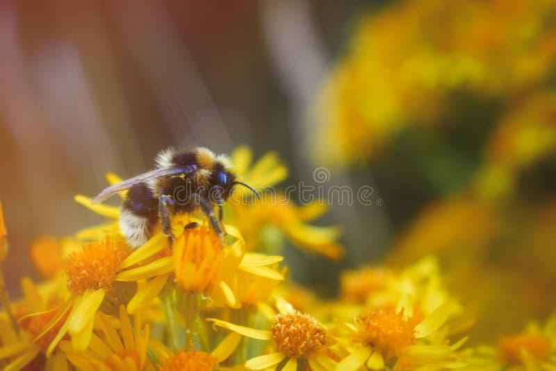 Närbild av en humla som samlar pollen på gula blommor royaltyfri fotografi