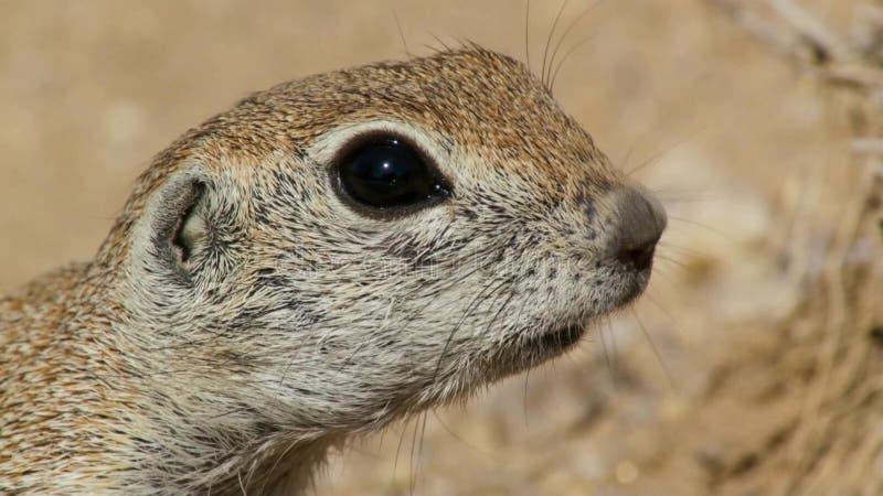 Närbild av en jordekorreXerus inaurus i den Kalahari öknen, Sydafrika arkivfoto